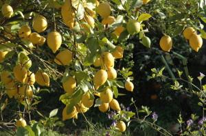 Citroner 1