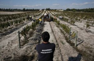 A prison guard (front) watches inmates as they work during the grape harvest at the Pinheiro da Cruz prison vineyard in Grandola,southern Portugal, October 1, 2008. It might be the good sandy terroir and the sun, but oenologists at Portugal's Pinheiro da Cruz prison say what gives their wine its prize-winning taste is the spirit of the inmates who make it. Picture taken October 1, 2008. REUTERS/Nacho Doce (PORTUGAL)